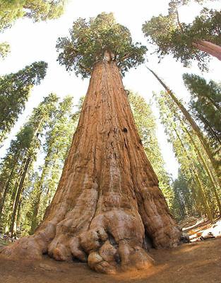 30 graines de Sequoia Géant/ Sequoiadendron Giganteum Redwood seeds