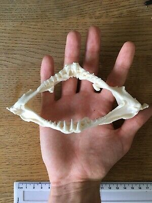 Wobbegong Shark Jaws VERY RARE great condition collectors item! Taxidermy WB