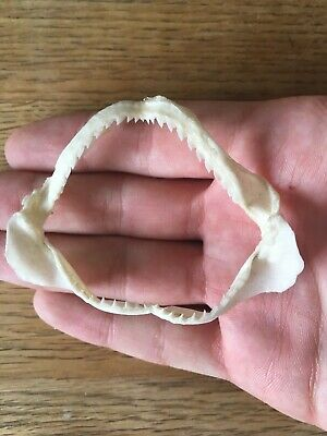 Ground Shark Jaws RARE specimen great condition taxidermy teeth! SGS04