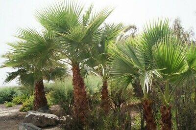 Graines x 25 Palmier de Californie - Washingtonia Filifera - Seeds