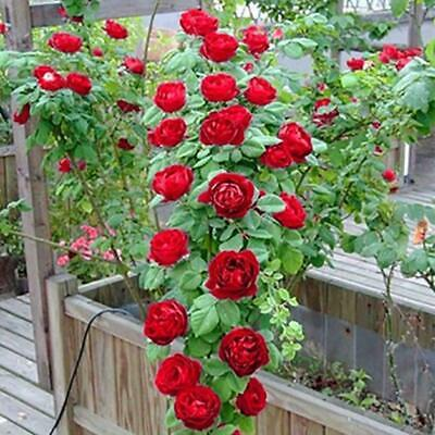 100pcs Pink red Climbing Rose Seeds Perennial Flower Decor Plant-Seed Garde K9J2