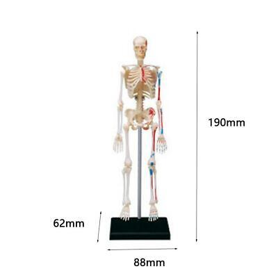 Human Skeleton Anatomy Series 3D Model Chart Biology Education Science Moul X3F3