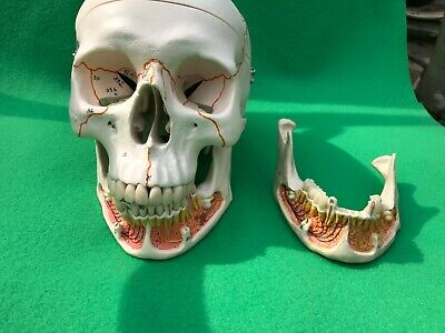 RS Human Skull Anatomical Model Professional nerve study teaching dental student