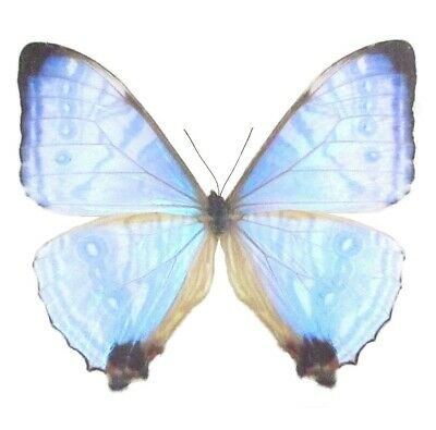 One Real Butterfly Blue Pink Purple Morpho Sulkowski Unmounted Wings Closed
