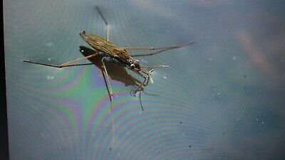 5 pond skaters  - pond - aquarium - wildlife - live insects - fish  shrimp snail
