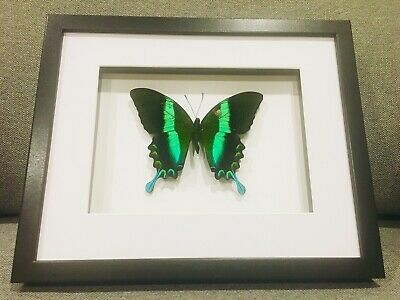Framed butterfly,  Peacock swallowtail , insect taxidermy