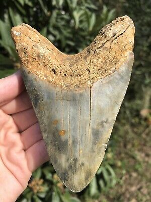 """Huge Beautiful Color 4.78"""" Megalodon Tooth Fossil Shark Teeth"""