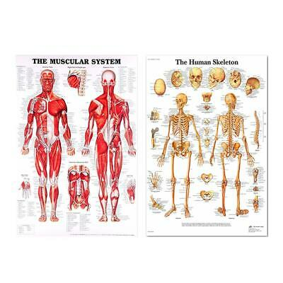 Human Anatomy Poster Skeletal Muscle System Teaching Medical Decorative Picture