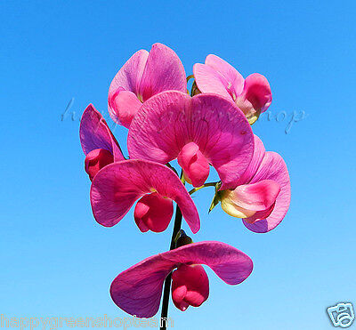 Flower - ROYAL SWEET PEA - PINK - 50 SEEDS - Lathyrus Odoratus