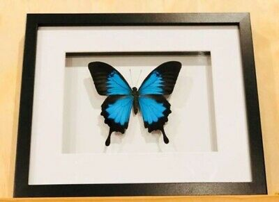 Framed butterfly, Ulysses Blue  , insect taxidermy