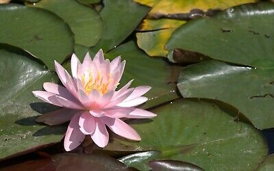 1X Nymphaea Odorata Pink Opal Coral Pink Water Uk Hardy Water Lily / Lillies