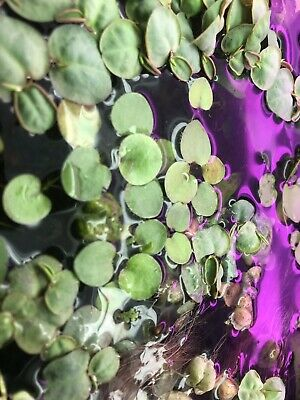 10 Amazon Frogbit And 10 Red Root Floaters