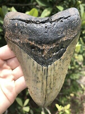 """Huge Beautiful Quality 5.49"""" Megalodon Tooth Fossil Shark Teeth"""