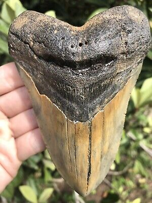 """Huge Beautiful Quality 5.16"""" Megalodon Tooth Fossil Shark Teeth"""