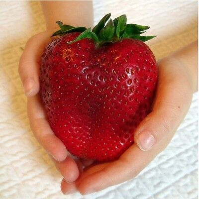 FRAGOLA GIGANTE - GIANT STRAWBERRY, 200 SEMI A PREZZO SPECIALE Fresh seeds China