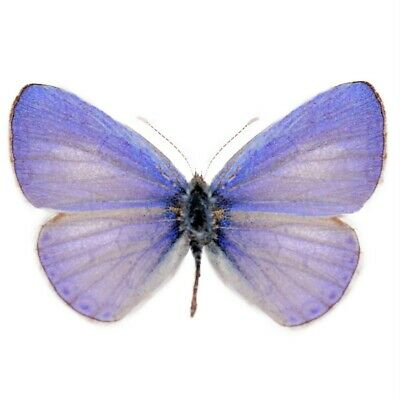 One Real Butterfly Purple Blue Udara Dilecta Unmounted Wings Closed China