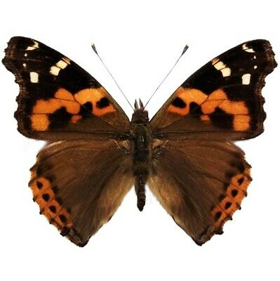 One Real Butterfly Vanessa Indica Indian Red Admiral China Wings Closed