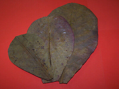 10 LARGE (20cms +) GRADE A Indian Almond (Catappa) Leaves - Shrimp, Bettas etc