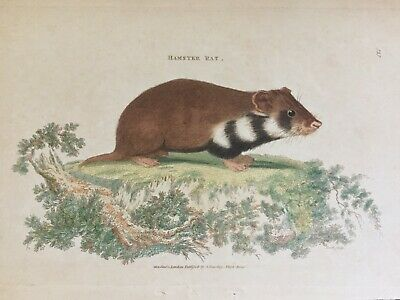 1801 George Shaw, Hand-Colored Copperplate Engraving- Hamster Rat