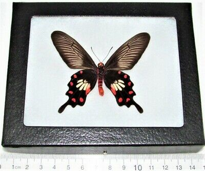 Real Framed Butterfly Pink Red Pachliopta Swallowtail Indonesia P4