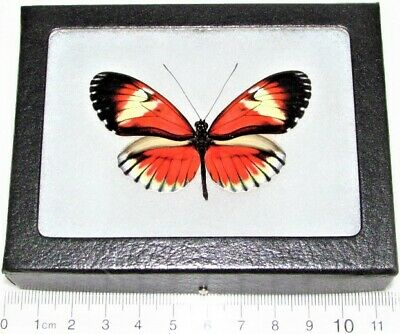 Real Framed Butterfly Pink Red Heliconius Longwing Ecuador H2