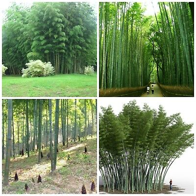 100 Graines Phyllostachys pubescens Moso Bambou,bambou géant,moso bamboo seed bi