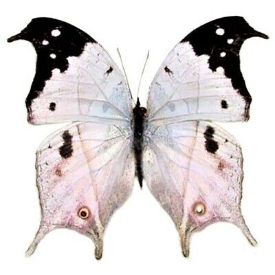 One Real Butterfly Pink Purple Salamis Duprei Madagascar Unmounted Wings Closed