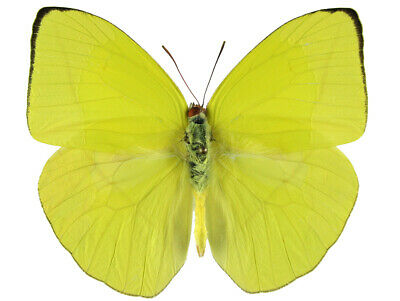 One Real Butterfly Yellow Phoebis Trite Peru Unmounted Wings Closed