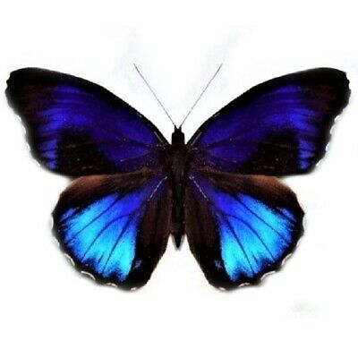 One Real Butterfly Blue Eunica Excelsa Peru Unmounted Wings Closed