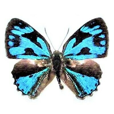 One Real Butterfly Blue Poritia Erycinoides Indonesia Unmounted Wings Closed