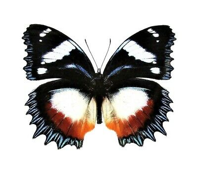 One Real Butterfly Hypolimnas Dexithea Madagascar Unmounted Wings Closed