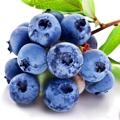 * Southern Blueberry Seeds * Evergreen Shrub * High Tolerance To Heat H1W9
