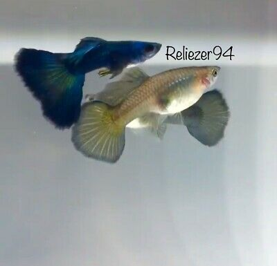 Green Hulk Russian Moscow (Trio - 1 Male + 2 Females) , RARE GUPPIES, LIVE FISH