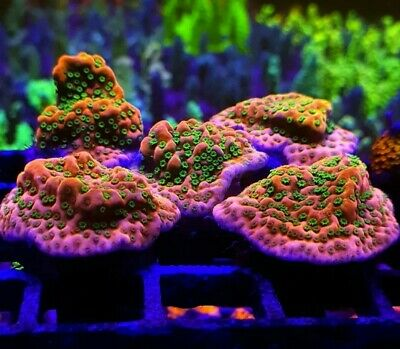 Tropic thunder montipora Frag Live Coral SPS LPS Very Rare