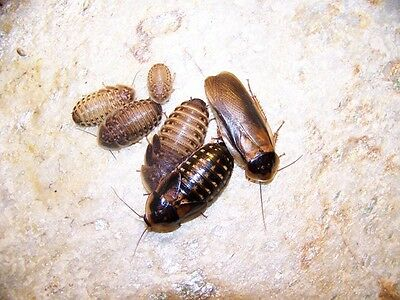 "250 Blatica Dubia Roach, Extra Large  1 1/4"" to 1 3/4"" Feeder,Bug,Geckos, Dragon"