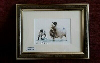 "ALAN COLLEDGE ORIGINAL FRAMED WATERCOLOUR ""SHEEPS"" 8X6 Inches Approx"