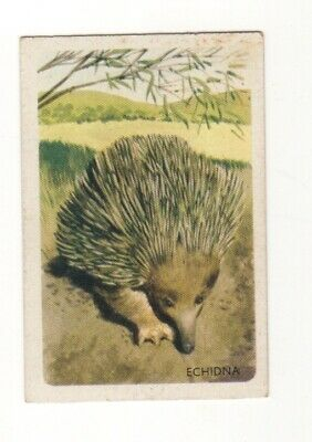 Australian Animal Trade card - Echidna