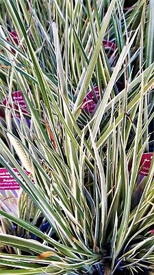 Acorus Gramineous Variegatus Sweet Flag Grass Marginal Perennial In 9Cm Pot
