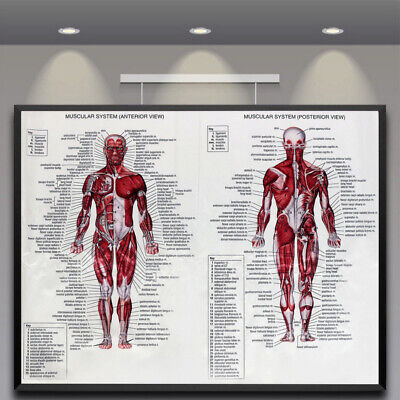 Muscle System Art Posters Prints Anatomy Chart Body Human Educational Decor AU