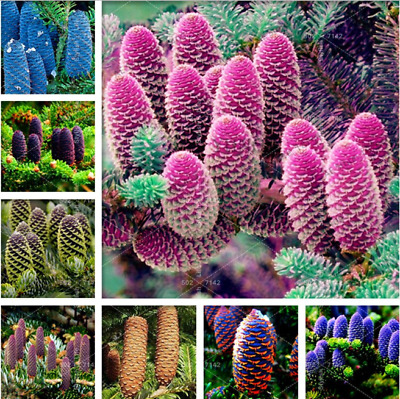 100 Pcs Seeds Korean Fir Bonsai Mixed Abies Koreana Plantas Flower Flores Rare N