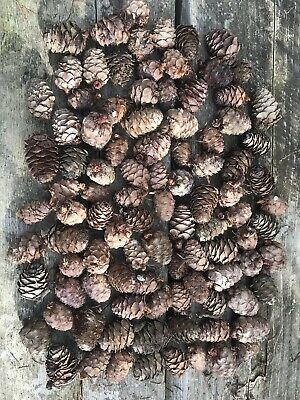 Larch Cones X 250 Christmas Decorations Fir Florist Crafting