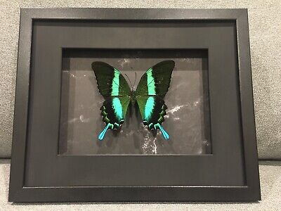 Framed butterfly, Papilio Blumei  , insect taxidermy