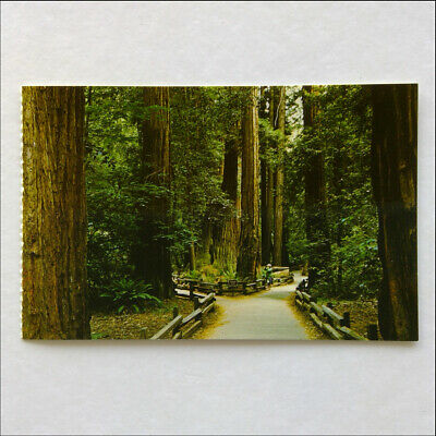 Muir Woods Splendor of the Redwoods San Francisco Gray Line Postcard (P387)