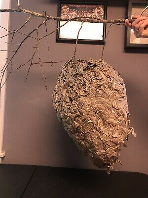"1 GIANT WHITE FACED HORNETS NEST IN TACT & ON BRANCH! ROUGHLY 18""x 11"" EXC COND!"