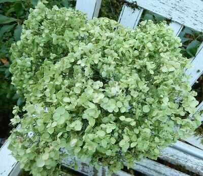 11 Dried Hydrangea Flowers Preserved Light Green + Cream Primitives  SECONDS