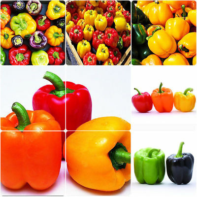 Sweet Bell Pepper Plants - 20 Seeds Mixed Colours
