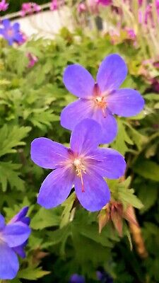 Hardy geranium 'Johnsons Blue' much loved reliable perennial in 9cm pot