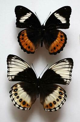 HYPOLIMNAS DEOIS HEWITSONI  - unmounted PAIR - QUALITY GOOD A-
