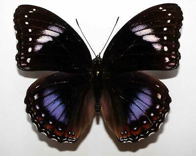 HYPOLIMNAS DIMONA  - unmounted butterfly