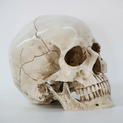 1:1 Resin Model Realistic Retro Human Skull Replica Medical Art Teach Life Decor